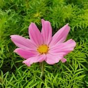 rosenskra-sonata-pink-105cm-kruka-1
