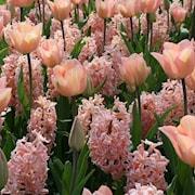 tulpan--hyacintmix-geneve-20st-1