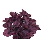 alunrot-purple-pride-12cm-kruka-1