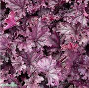 alunrot-forever-purple-12cm-kruka-1