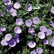 ampelvinda-early-blue---3-plantor-1