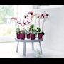 orchideco-twist-cherry-5