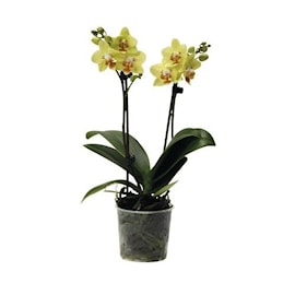 hornum-orkidpinne-tr-svart-10st-1