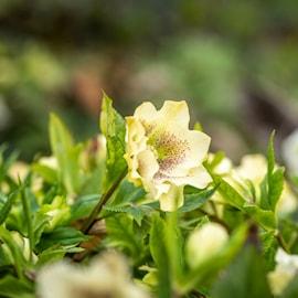 orientalisk-julros-yellow-lady-9cm-kruka-1