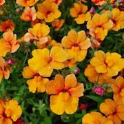 nemesia-sunsatia-kiwano---3-plantor-1