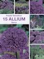 allium-purple-sensation-storpack-4
