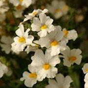 nemesia-sunsatia-plus-little-coco---3-plantor-1