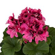 nglapelargon-regalia-pink-3st-sticklingar-1