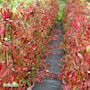 klttervildvin-quinquefolia-c15-c2-1
