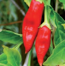 chili-apache-105cm-kruka-1