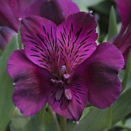 alstrmeria-dark-purple-5cm-plugg-1