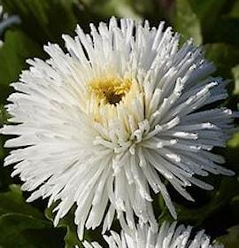 tusenskna-habanera-white-1
