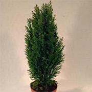 jul-en-delcypress-ellwoodii-12cm-kruka-1