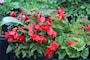 begonia-odorata-red-glory-2st-3