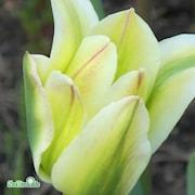 grnbandad-tulpan-green-spirit-7st-1