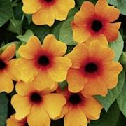 svartga-sunny-susy-red-orange---3-plantor-1