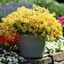 nemesia-sunsatia-pomelo---3-plantor-2