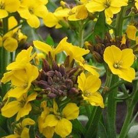 gyllenlack-canaries-yellow-9cm-kruka-1
