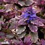 brokbladig-revsuga-burgundy-glow-12cm-kruka-1