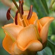 lilja-apricot-fudge-2st-1