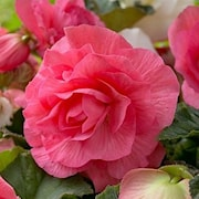 begonia-non-stop-roze-3st-1