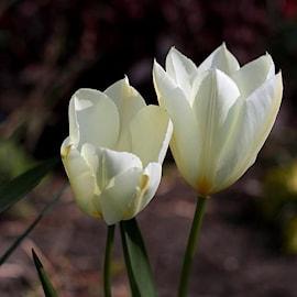 kejsartulpan-purissima-10st-1