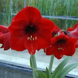 amaryllis-benfica-1