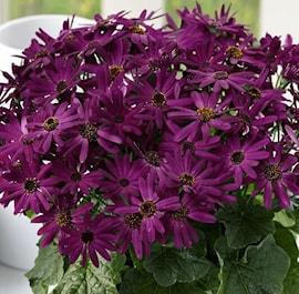 cineraria-senetti-grape-105cm-kruka-1