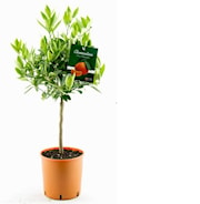 clementin-stam-h70-80cm-20cm-kruka-1