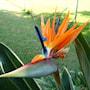 papegojblomma-1