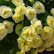 minipetunia-can-can-rosies-light-yellow-105cm-1