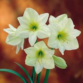 amaryllis-lemon-star-1st-1