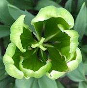 triumftulpan-green-power-5st-1