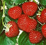 jordgubbe-senga-sengana-105cm-kruka-1