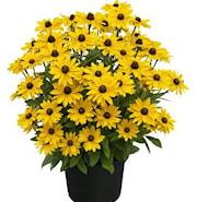 rudbeckia-sunny-smiley-105cm-kruka-1