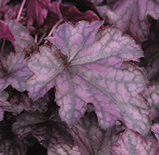 alunrot-blackberry-jam-12cm-kruka-1