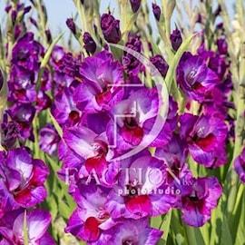 gladiolus-alfafa-7st-1