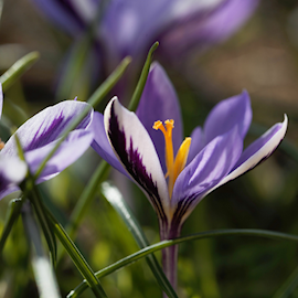 sardinienkrokus-spring-beauty-15st-1