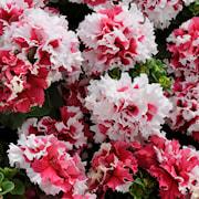 petunia-pirouette-red---3-plantor-1
