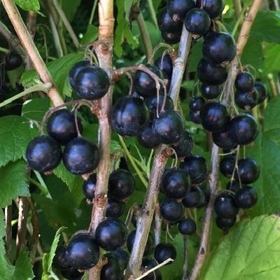 Svarta vinbär 'Titania' 7cm kruka