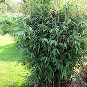 bergbambu-jumbo-23cm-kruka-1