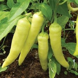 chili-sweet-banana-105cm-kruka-1