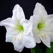 amaryllis-antarctica-1st-1