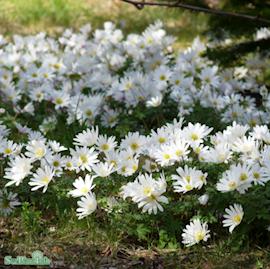 balkansippa-white-splendour-10st-1