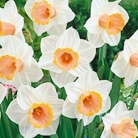 stjrnnarciss-salome-5st-1