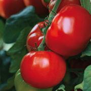 tomat-maestria-105cm-kruka-1