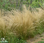 svansfjdergrs-ponytail-12cm-kruka-1