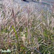 glansmiskantus-kleine-silberspinne-c5-1