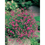 lobelia-crimson-fountain-8