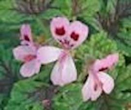 doftpelargon-royal-oak-1